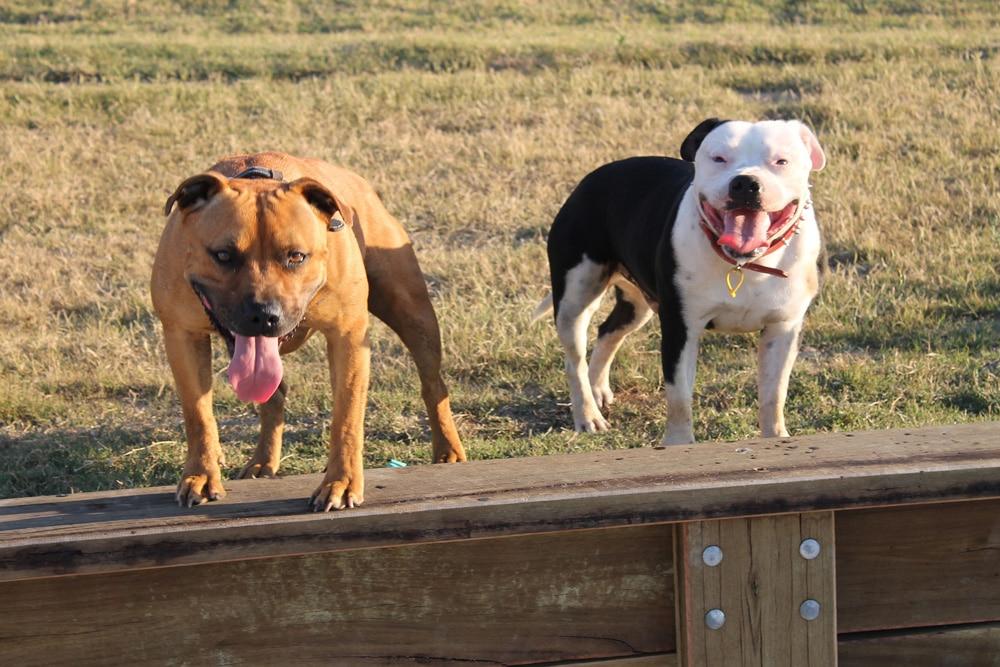 Hundehaftpflicht Listenhunde Staffordshire Bullterrier