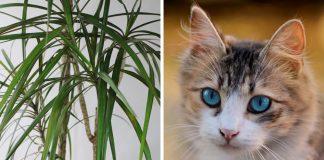 Drachenbaum und Katze