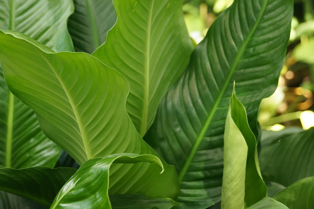 einblatt spathiphyllum blatt