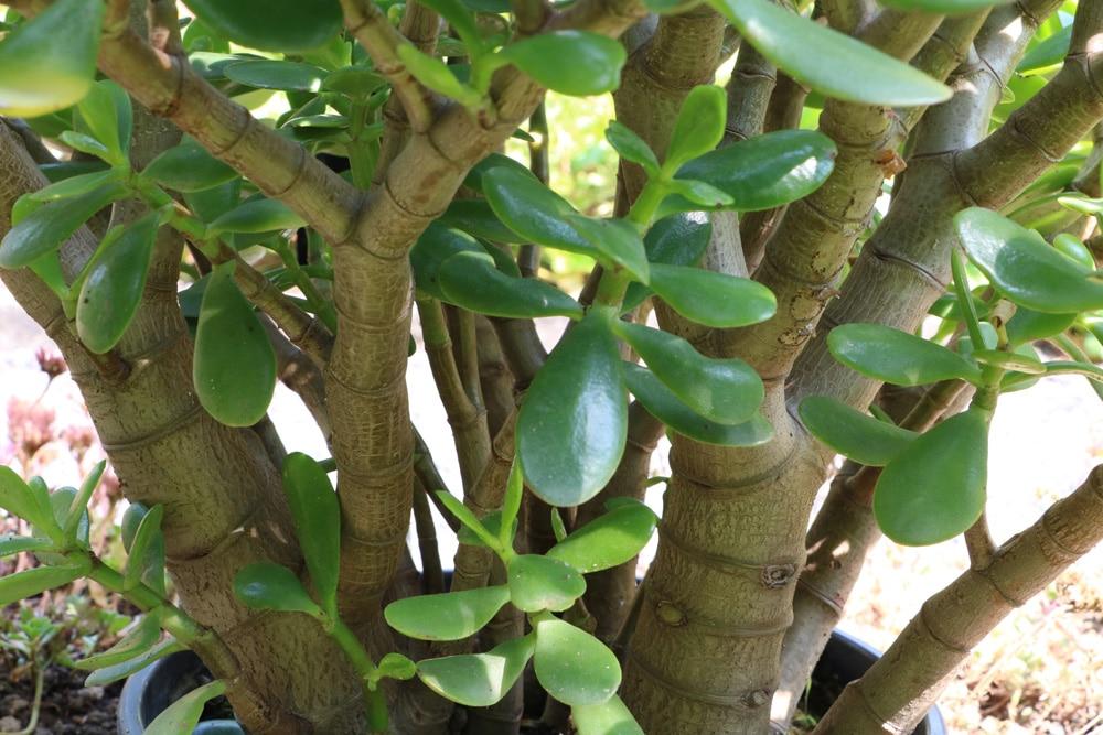 stamm eines geldbaumes