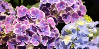 hortensien hydrangea