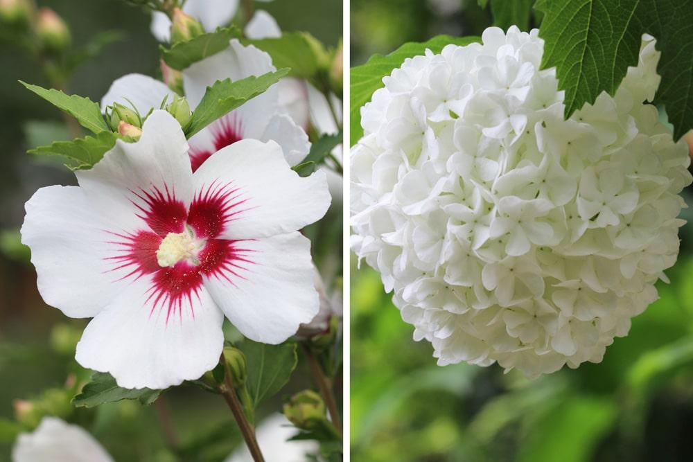 hibiskus und schneeball als hortensien-ersatz