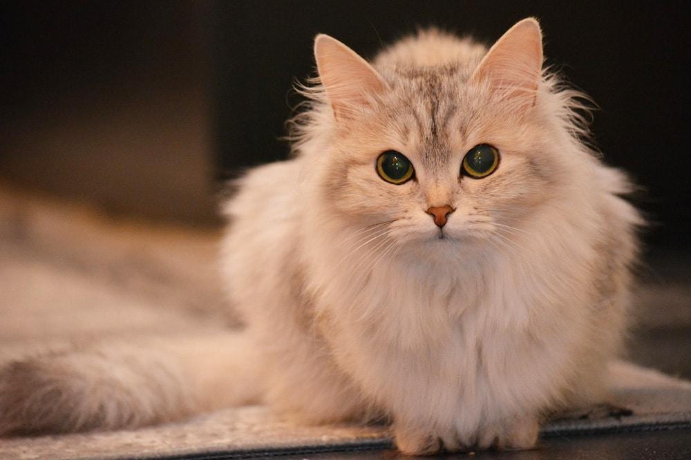 Katze erweiterte Pupillen