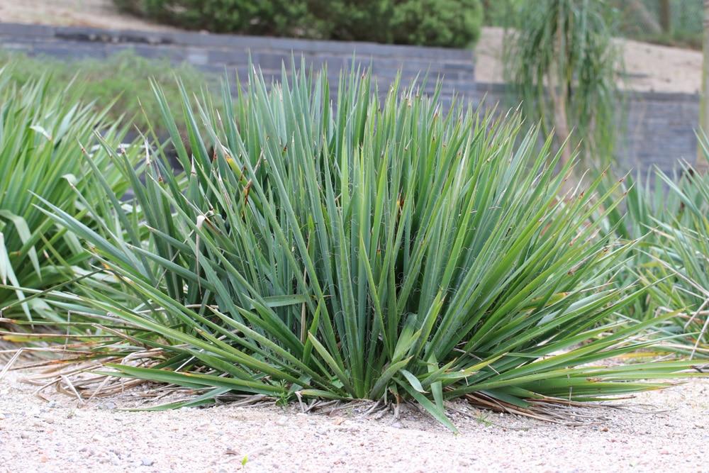 Yucca-Palme giftig