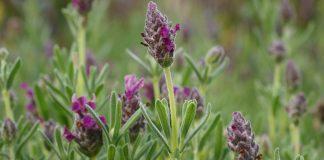Lavendel gegen Wespen